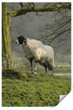 Lost sheep, Print