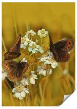 Scotch Argus Butterflies, Print