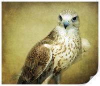 The Saker Falcon Stare, Print