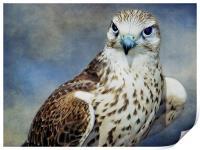 Saker Falcon, Print
