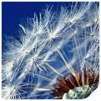 Dandelion Seeds, Print
