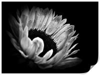 Sunflower Droplets In BW, Print