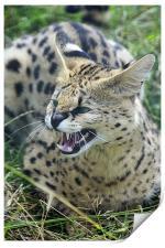 Wild Cat, Print