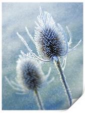 Wintery Teasles, Print