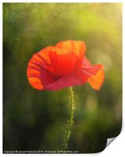 Poppy in the field, Print