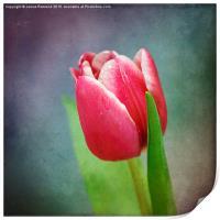 Tulip, Print