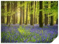 The Bluebell Woods , Print