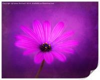 Purple Beauty, Print