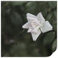 White Flower, Print