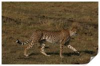 Cheetah, Print