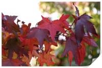Red Maple Leaves, Print