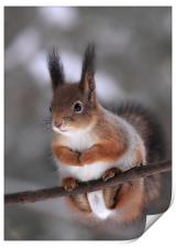 Red squirrel on a tree branch, Print
