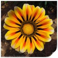 Golden Gazania Flower, Print