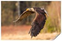 Bald Eagle in Flight, Print