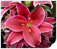 Oriental Lily, Print