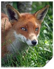 Red fox stare, Print