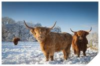 Highland cattle in the snow, Print