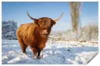 Highland cow in snow, Print