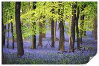 Bluebells at Ashridge, Print