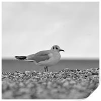 Lone Gull, Print