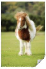 Shetland Pony, Print