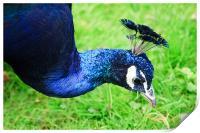 Peacock, Print