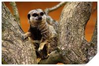 Meerkat, Print