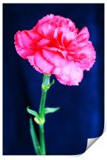 Pink Carnation, Print