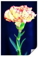 Carnation, Print