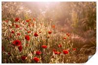Morning light on Poppies, Print