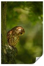 Tawny owl in the woods, Print
