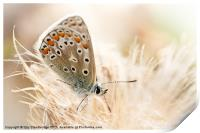 Common blue butterfly, Print