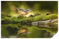 Nuthatch reflecting, Print