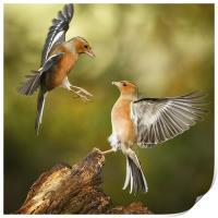 Squabbling chaffinches, Print