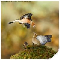 Bickering chaffinches, Print