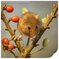 Harvest mouse (Micromys minutus), Print
