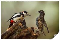 Stand off between woodpecker and starling, Print