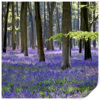 Bluebell Woodland, Print