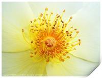 Rose Golden Wings, Print