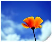Poppy California Dreaming, Print