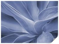 Agave in Blue, Print