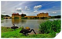 Black Swans at Leeds Castle II, Print