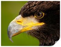 Intense gaze of Golden Eagle, Print
