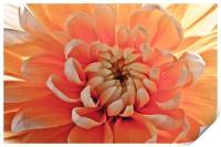 """Peachy Calendula"", Print"