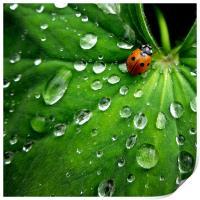 ladybird on a rainy day, Print