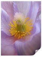 pasque flower, Print