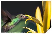 hummingbird feeding, Print