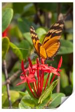 butterfly on red rubiaceae, Print