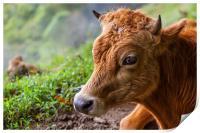 young calf lying down, Print