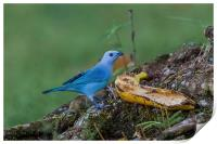 blue gray tanager, Print